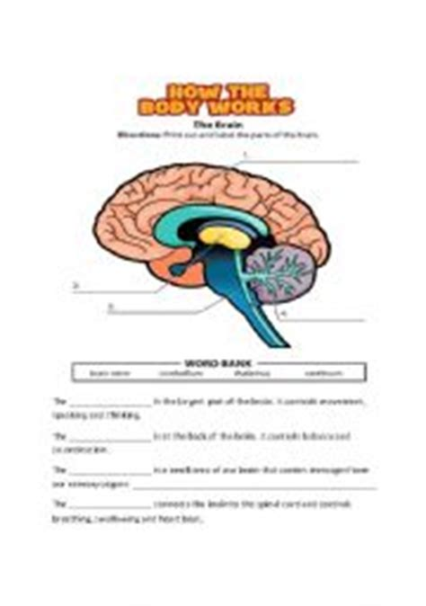 Parts Of The Brain Worksheet by Teaching Worksheets Nervous System