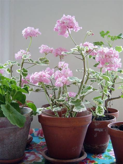 best scented geranium indoors 270 best images about pelargonium on april snow white flowers and apple blossoms