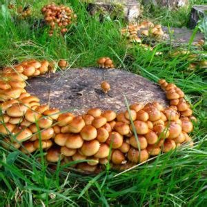 Pilze Im Eigenen Garten by Speisepilze Im Eigenen Garten Keisergarten