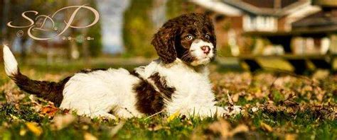 springerdoodle puppies for sale ontario parti colored springerdoodles low non shedding for