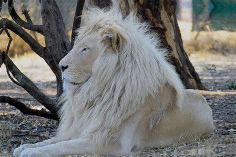 imagenes de leones albinos imagenes de leones imagen de leon albino observando
