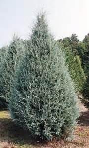favorite christmas tree varieties south carolina christmas