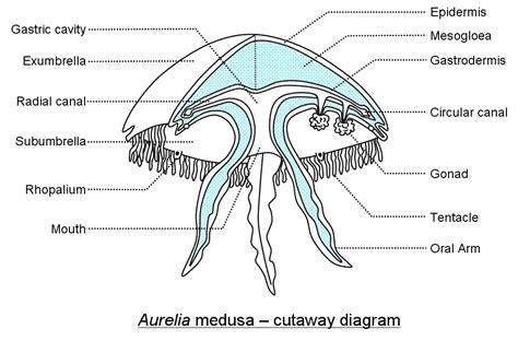diagram of a jellyfish jellyfish
