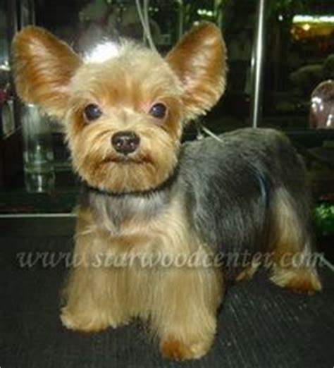 korean cut for yorkie i like this take on a yorkie cut japanese and korean