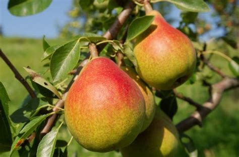 tree ripened fruit ripe fruit contains highly active antioxidants sciencedaily