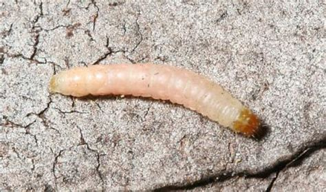 identifying a pinkish white larvae in home