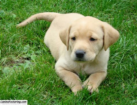 yellow lab golden retriever puppies golden retriever caninefostering