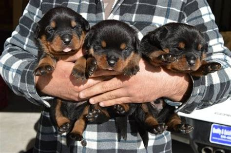 raising a rottweiler puppy view ad rottweiler puppy for sale california usa