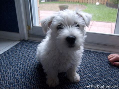 white small dogs small white breeds