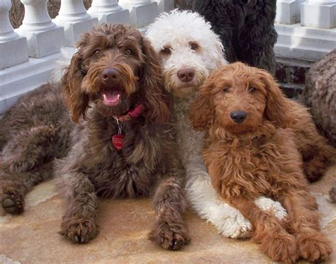 doodle chocolate tessa f1b goldendoodle from chocolate to lavender