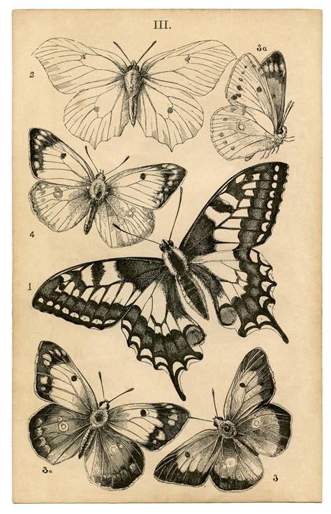 butterfly prints free antique butterfly print history the graphics