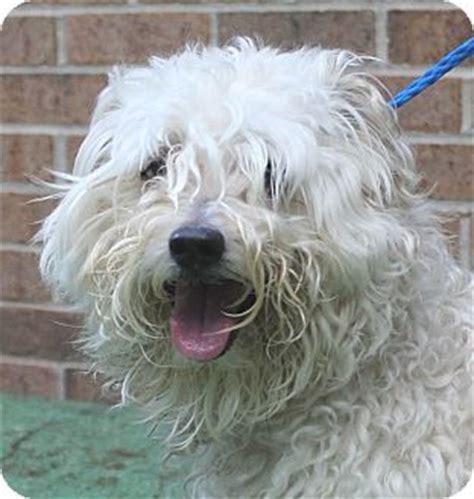 adopt a puppy nj oak ridge nj second chance pet adoption league schnauzer miniature cockapoo mix