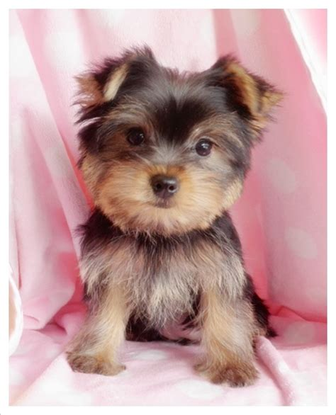 i want a teacup yorkie 109 best images about yorkie on yorkie chesterfield and adoption