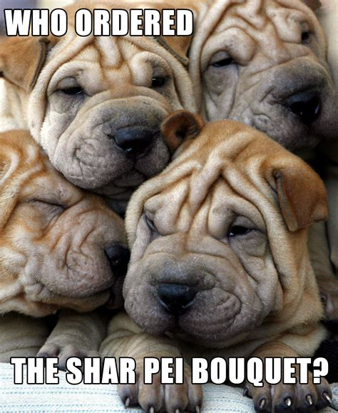 wrinkly puppies 12 dogs who make wrinkles look rover