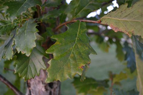 Sw White Oak Is A Deciduous Tree That Produces Acorns White Oak Leaf
