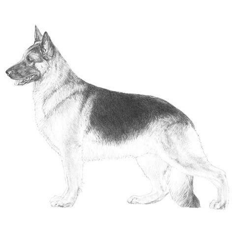 color explained a breeder s perspective books german shepherd coloring pages coloring home