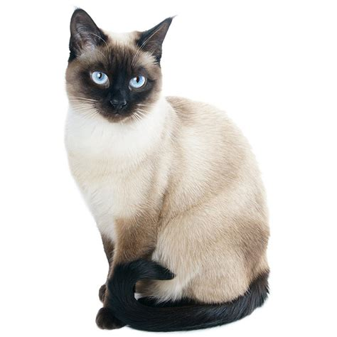 siamese cat siamese cat pet insurance amp cat breed info