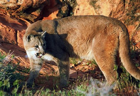 Southwest 39 Sale by Cougar Hunting Harvest Objective Permits Go On Sale St
