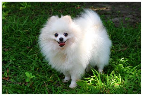 pomeranian dogs pictures pomeranian puppies price hd wallpapers