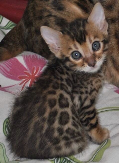 baby bengal kitten prices 25 best ideas about bengal cat price on pinterest large