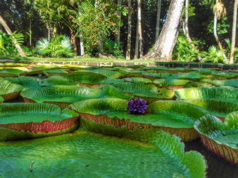 Mauritius Botanical Garden A Visit To The Plemousses Botanical Garden