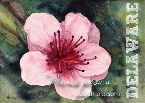 delaware state flower aceo state flowers watercolor delaware prunus by olliffstudio