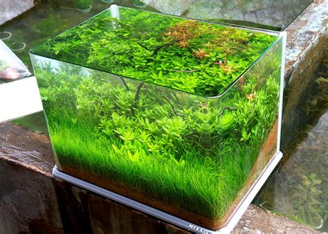 hair grass aquascape hair grass japan aquajaya