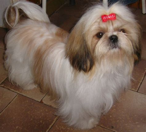 shih tzu rescue dc shih tzu rescue related keywords suggestions shih tzu rescue breeds picture