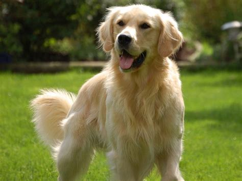 golden retriever patronus what is your patronus according to your myers briggs personality type playbuzz
