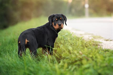 rottweiler puppies image gallery rottweiler puppies