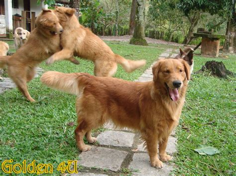 golden retriever appartamento canil golden 4u especializado em golden retriever