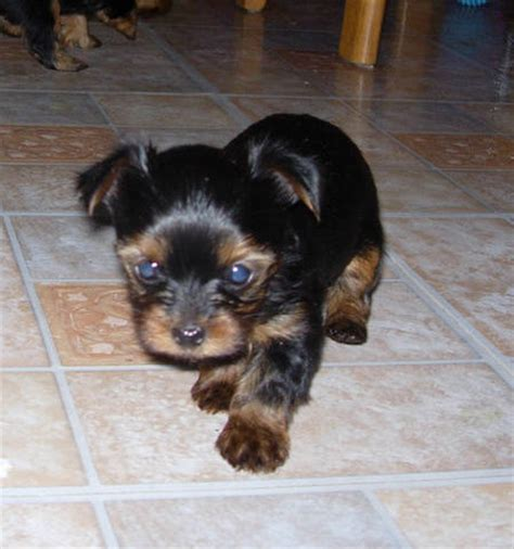 mini yorkies for adoption purebred yorkies for adoption breeds picture