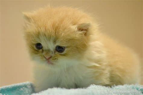 wallpaper anak kucing comel gambar kucing comel cute kucing parsi gemuk gambar