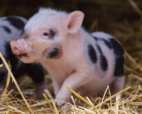www stall de tierwohl aktuelle trends in der schweinehaltung feld