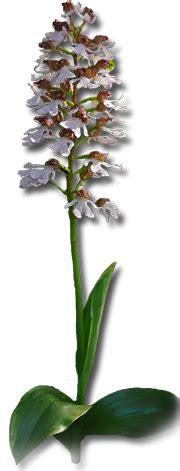 Winterharte Orchideen Im Eigenen Garten 1463 by Gartenorchideen Cypripedium Und Weitere Freilandorchideen