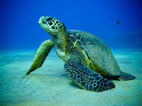 Turtle Sea green sea turtle fading americans