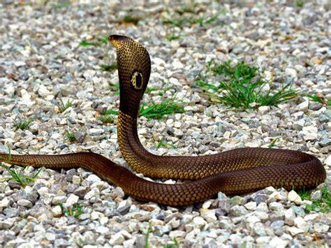 cobra snake knowledge point king cobra snake facts