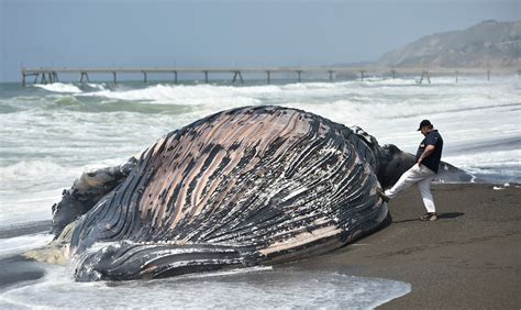 Why Whales Strand Dead Whales Washing Ashore On The Whale Laundry