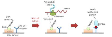 protein expression protein expression service creative biostructure