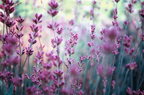 garden plants using lavender pdf