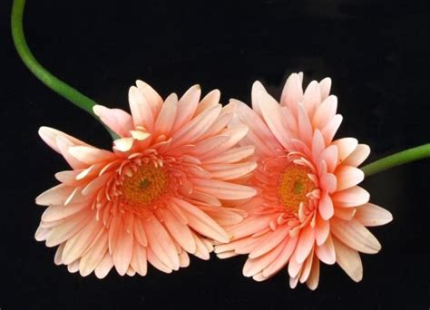 Gkm Flower Pink gerbera flowers wallpapers