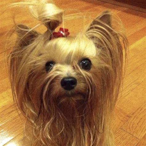 yorkie hair or fur bad hair day somehow looks on a yorkie yorkie