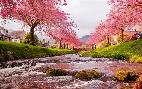 themes fluss in london cherry blossom tree wallpapers free