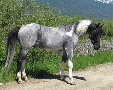 grey paint sles 36 best images about blue roan paints on pinterest beautiful pretty horses and paint horses
