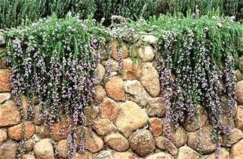plants that drape over walls 17 best images about waterwise plants on pinterest a