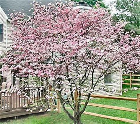 cottage farms catalog cottage farms stellar pink dogwood tree the secret