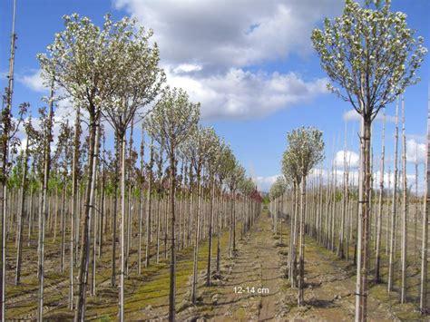 Kleine Bäume Für Den Garten 2866 kugelbaum f 195 188 r kleinen garten kaufen kugelkirsche mr
