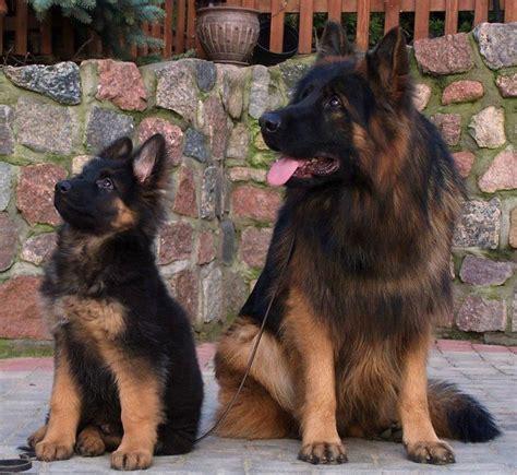 dogs that look like german shepherds speechless so beautiful to look at 4 german