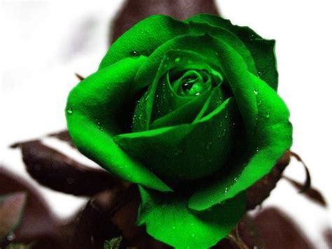green rose themes nth free green rose phone wallpaper by brandiwig84