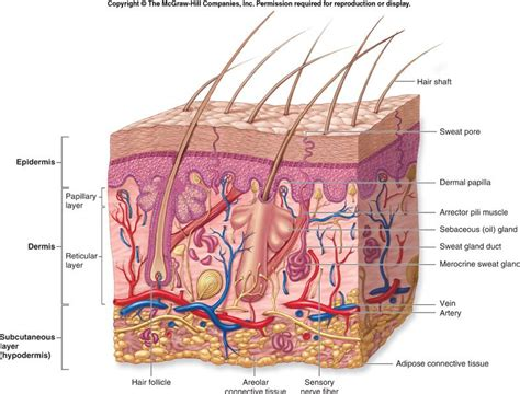 generic structure dari biography integumentary system diagram google search
